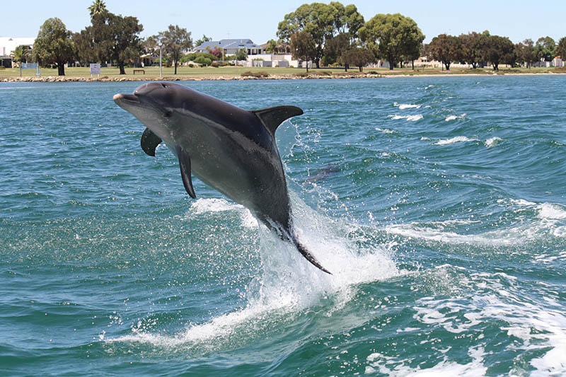 Bottlenose Dolphin, Mandurah, Peel Region, Western Australia