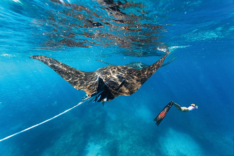 Manta ray, Ningaloo Marine Park, Western Australia