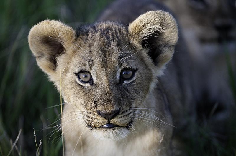 Lion cub, safari, Botswana, Africa