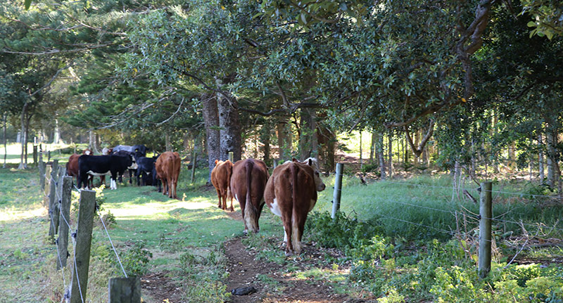 Cattle, Norfolk Island