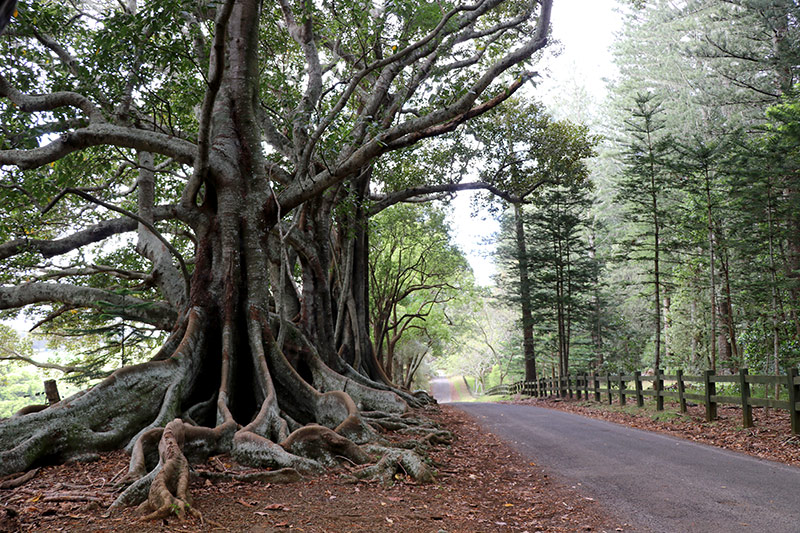 Moreton Bay Figs, Norfolk Island