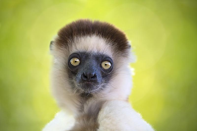 Sifakas, lemur, Madagascar