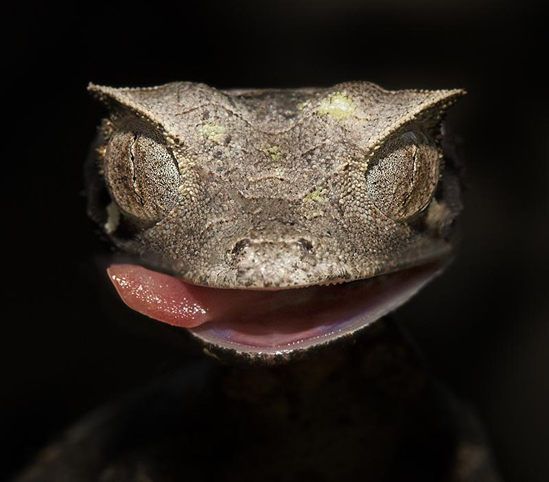 gecko, Madagascar