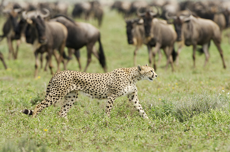 Africa; Tanzania; Sanctuary Kusini; Cheetah and Wildebeest Wildlife